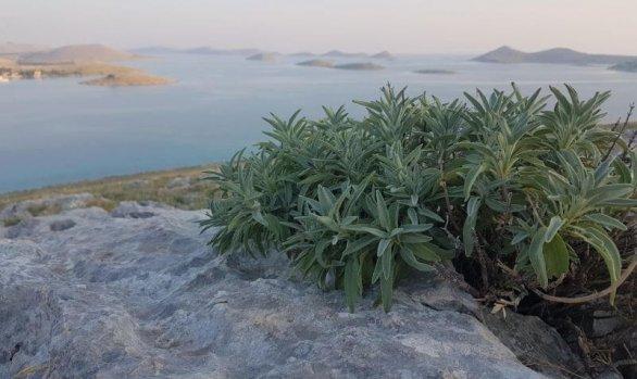 Kadulja i smilje za vrijeme ljeta na Kornatima