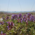 Kadulja u proljeće na Kornatima