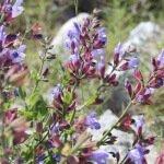 Kornatska kadulja - Salvia d.o.o.