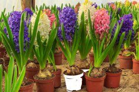 Uzgoj proljetnog cvijeća