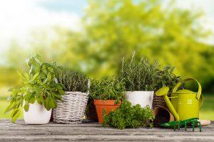 Uzgoj začinskog bilja